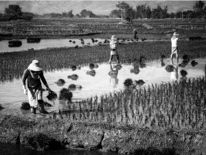 Four Rice Paddy Workers (Kyaingtong 2014)