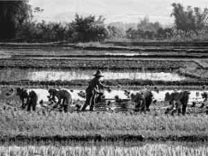 Five Rice Paddy Workers (Kyaingtong 2014)
